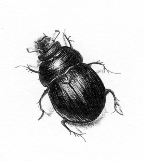 fineline pen drawing of a dor beetle by holly holt