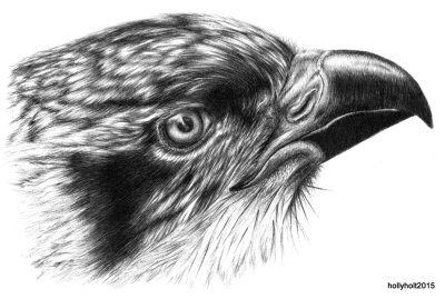 osprey drawing in ballpoint pen by holly holt