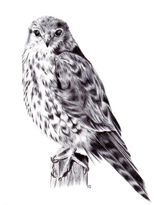 merlin falcon drawing in ballpoint pen by holly holt