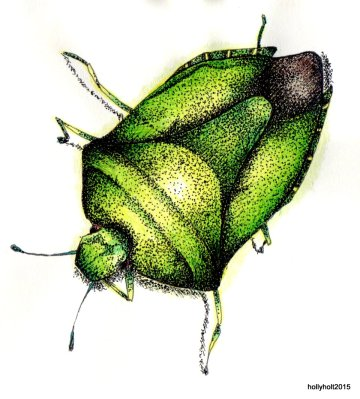 shield bug drawing by holly holt