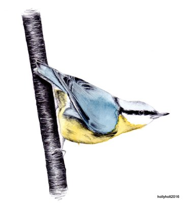 acrylic ink nuthatch illustration by holly holt