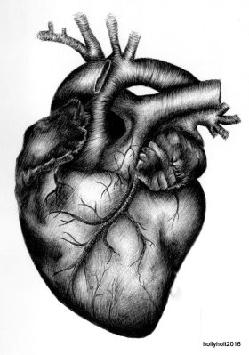 anatomical heart illustration by holly holt