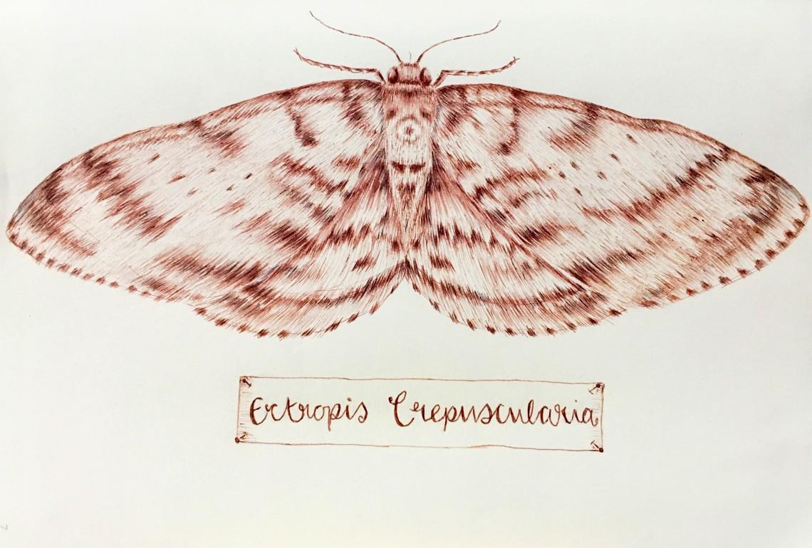 Engrailed moth (ectropis crepuscularia)